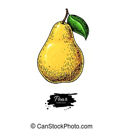 Pear vector drawing. Isolated hand drawn object on white...
