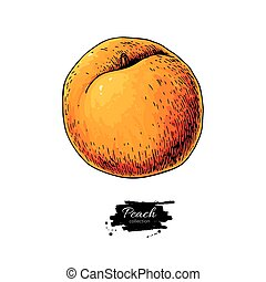 Peachartboard - Peach vector drawing. Isolated hand drawn...