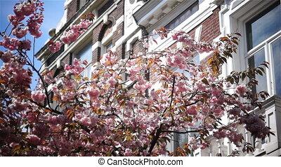 Sun spring flower pink spring - sun shines through Sakura,...