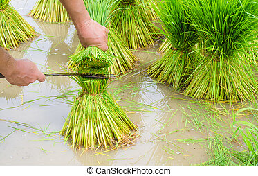 hand cut sapling rice, rice field in rural, thailand.