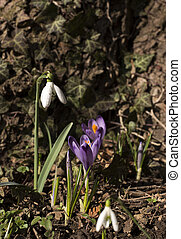 Snowdrop with crocus sativus growing by side.