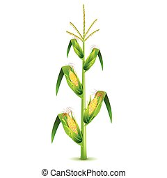 Growing corn plant isolated on white vector - Growing corn...