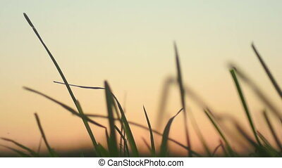Sunset corn grass sun - Dawn in a field with grass....