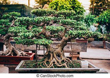 Vietnamese bonsai tree - Beautiful vietnamese bonsai tree in...
