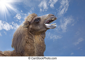 Camel - A yawning camel with blue sky in the background