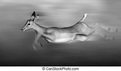 Impala running and jumping at full speed