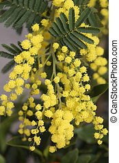 mimosa flowers on the plant in March - yellow mimosa flowers...