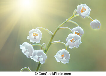 Flower lily of the valley, closeup, spring