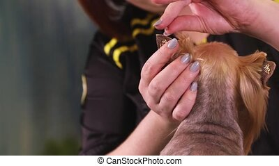 Groomer sticks decoration on the dog's ears - Groomer sticks...