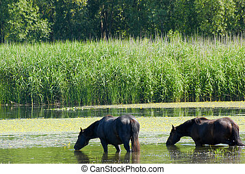 馬, 站立, 水