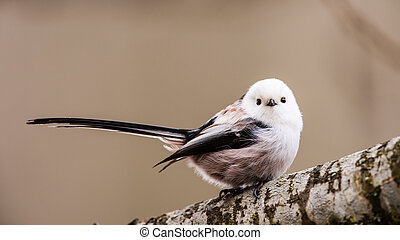 Loong tailed - Long-tailed tit or long-tailed bushtit...