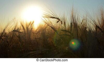 Sunset corn grass sun - Dawn in a field with grass....