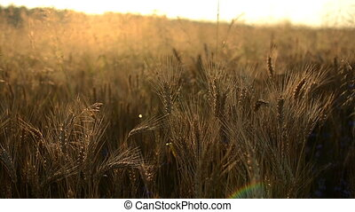 sunrise corn grass dawn sun - Field of grass during sunrise...