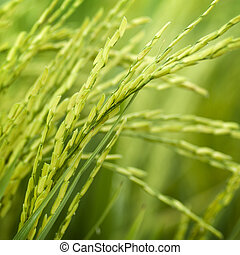Paddy rice - Close up of green paddy rice plant
