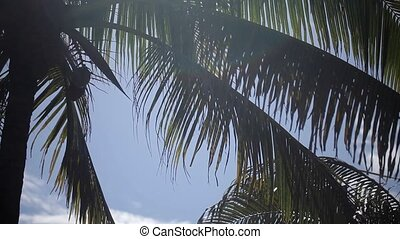 Palm tree at sunny day - Palm tree with coconuts at sunny...