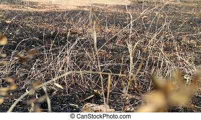 burn with fire ground in wild. dry plants and foliage on a...