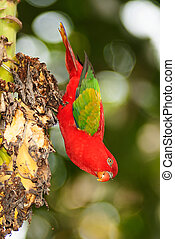 Portrait of beautiful Chattering red Lory Lorius garrulus on a banana.