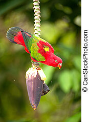 Portrait of beautiful Chattering red Lory Lorius garrulus on...