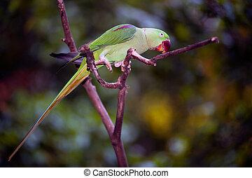 Rose-ringed parakeet (Psittacula krameri) bird known as the...