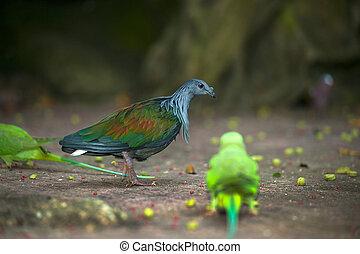 giù, nicobar, colorito, passeggiare, marciapiede, piccione,...