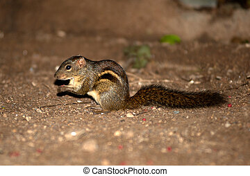 The Indian palm squirrel or three-striped palm squirrel...