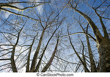 Sycamore tree in winter - Presentation of plane trees taken...