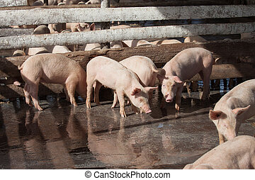 Pig Farm - A group of young domestic pigs at a farm in Cuba