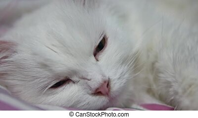 white fluffy cat lies on a bed. pet - white fluffy cat lies...