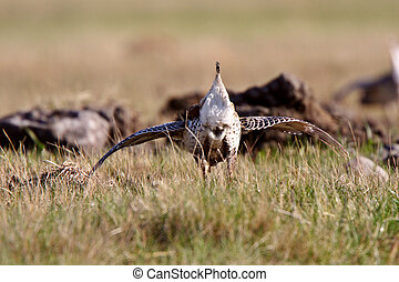 Sharp tailed Grouse at lek finding dominate male