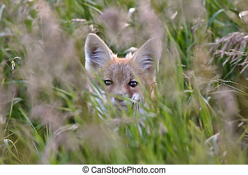 Red Fox pup in grass cover
