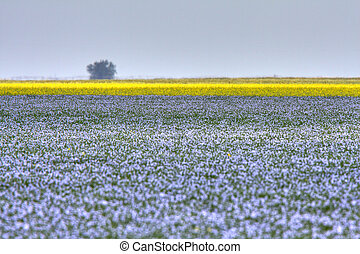 Flax and canola crops in Saskatchewan