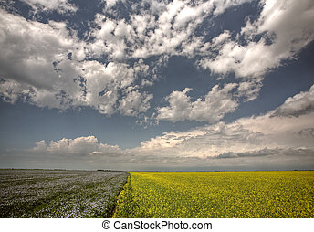 Canola and flax fields in Saskatchewan