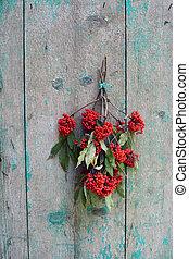 European Red Elder Sambucus racemosa berry bunch on wall -...