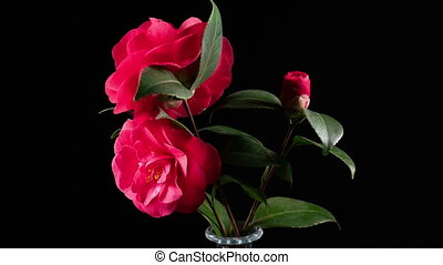 Japanese camellia flower blooming on black background, time...