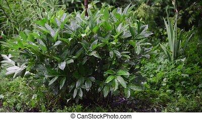 Green Peony bush in the rain