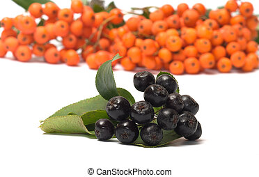 Ashberry. - Berries red and black ashberry on a white...