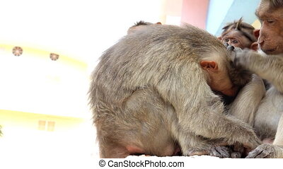 Indian macaques Macaca radiata monkey family - Indian...