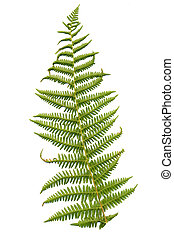 Fern leaf isolated on white background.