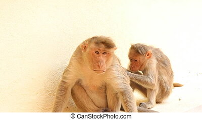 scene care for a couple of monkeys. two animals of pair at...