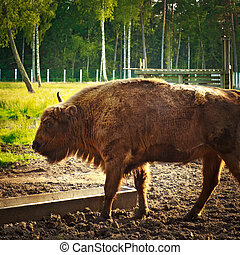 aurochs in wildlife sanctuary - big aurochs in wildlife...