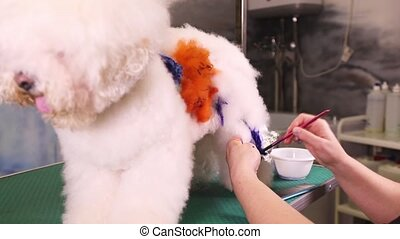 Groomer makes a drawing on a dog (Bichon Frise) at a pet...