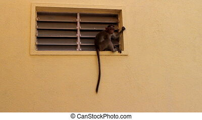 young monkey near vents of house - monkey weighs and walks...