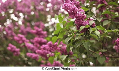 Close-up photo of bloomig lilac