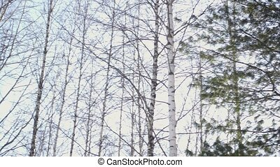 Birch and pine trees in the forest, the camera moves, the...