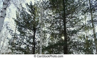 Conifers on a background of sky and sun - Coniferous trees...