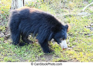 Sloth bear, also known as stickney or labiated bear