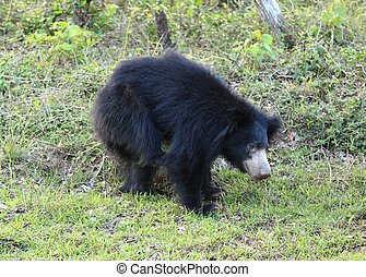 Sloth bear scratching himself, also called  Stickney or labiated bear