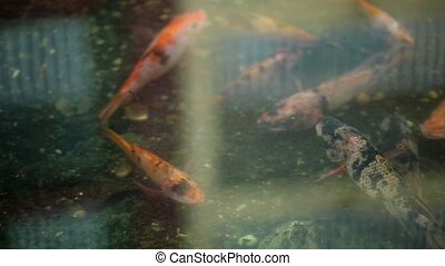 Golden fishes in pond closeup