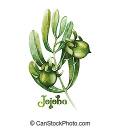 Watercolor jojoba plant