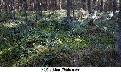 Daily Walk pine forest - Walk around old pine forest....